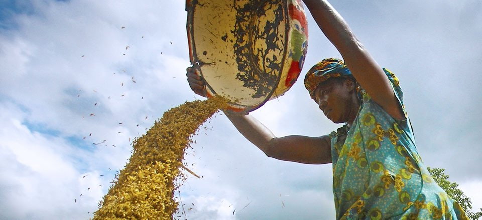Nigerian woman winnowing grain